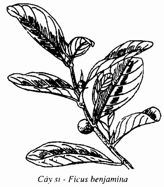 Hình vẽ CÂY SI - Ficus benjamina - Nguyên liệu làm thuốc Chữa Ho Hen