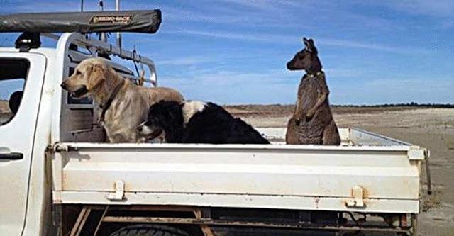 Семья спасла осиротевшего малыша кенгуру. А он теперь считает себя собакой