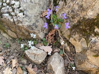 [Violaceae] Viola odoratum and Viola alba