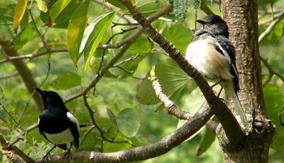 Solusi Dan Cara Melakukan Proses Pengumbaran Burung Kacer Yang Benar