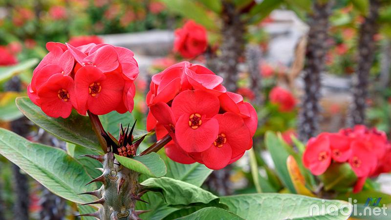 tanaman hias bunga euphorbia