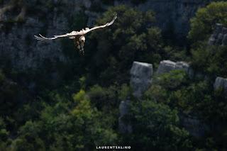 Vautour en approche, Rémuzat - ©Laurent Salino