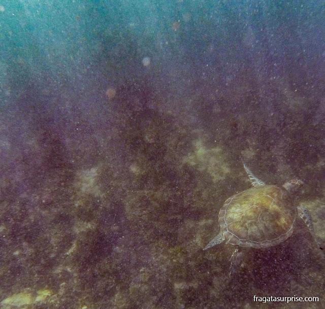 Tartaruga marinha na praia da Baía Sueste, Fernando de Noronha