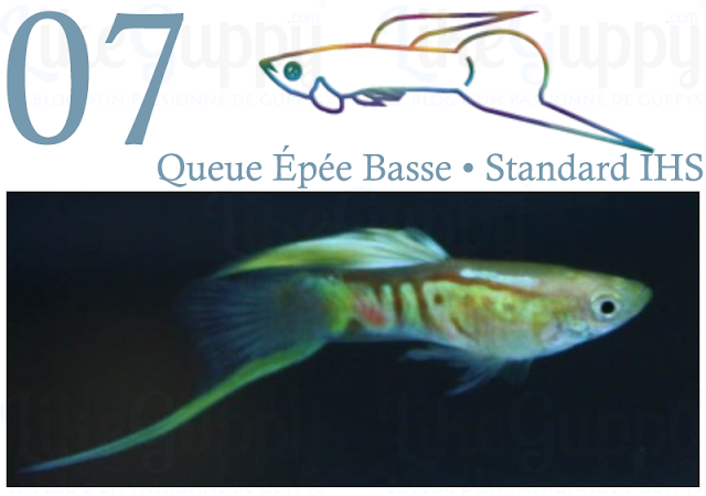 guppy-queue-épée-basse-standard-ihs