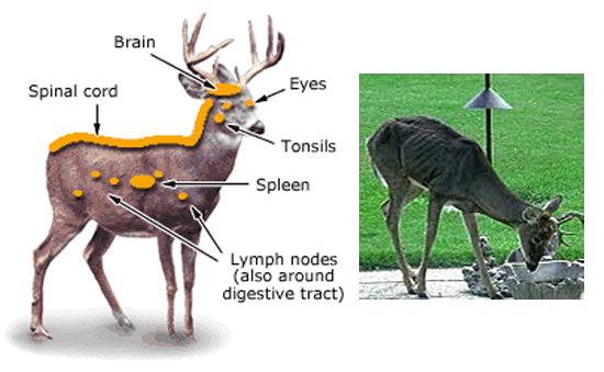 Doença do cervo zumbi - Img 2