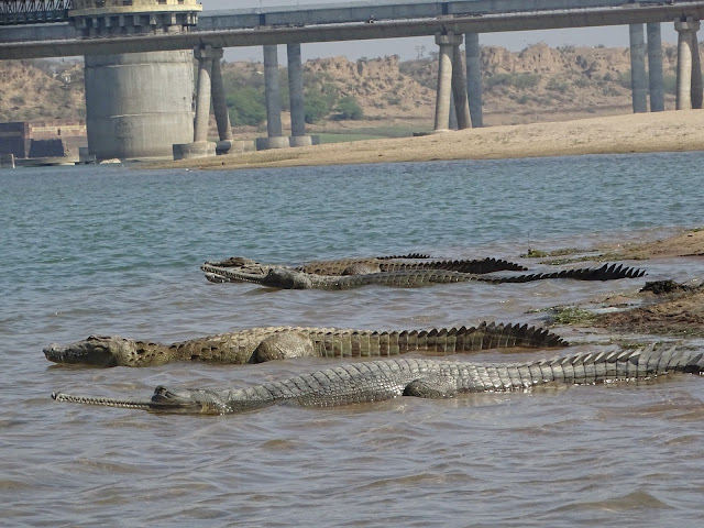 crocodiles and gharials in chambal river