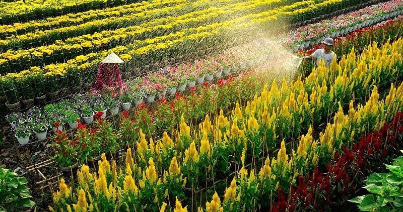 Ảnh người nông dân đang tưới hoa tại làng hoa sa đéc 1