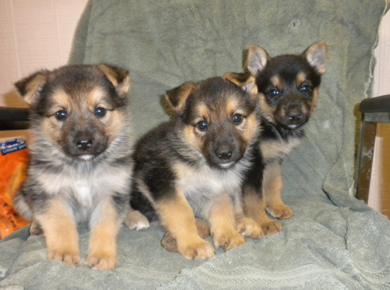 golden-retriever-newborn-puppies