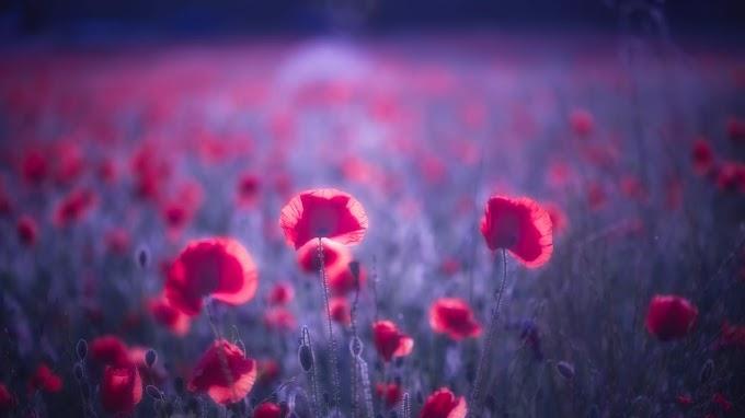 Flores Poppy Vermelhas