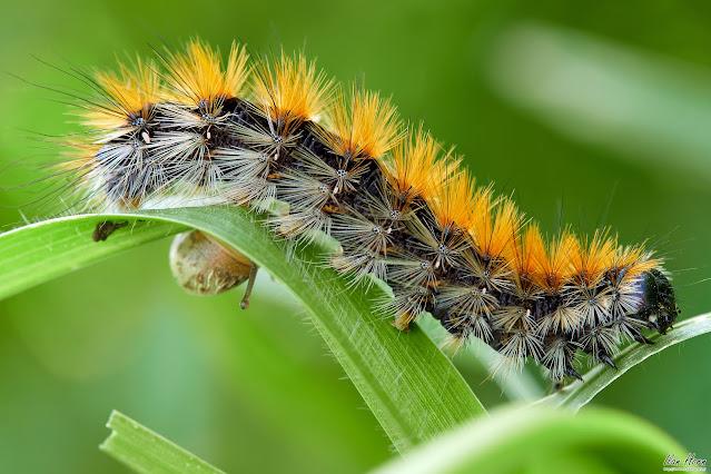Wavy Caterpillar