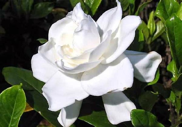 Bunga gardenia (kaca piring)