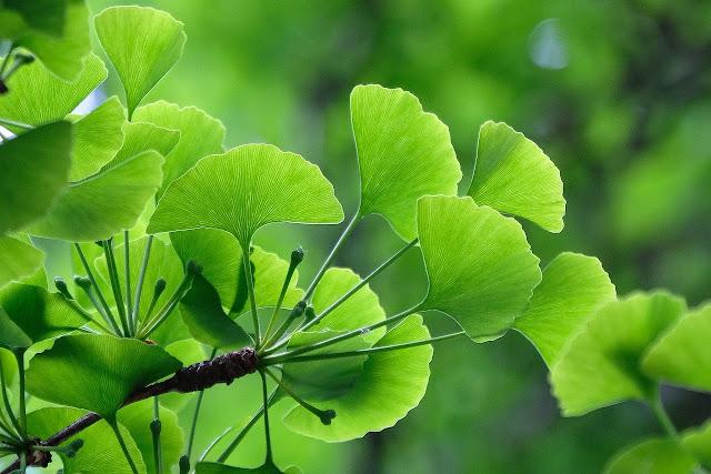 Gingkgo biloba es una planta dioica