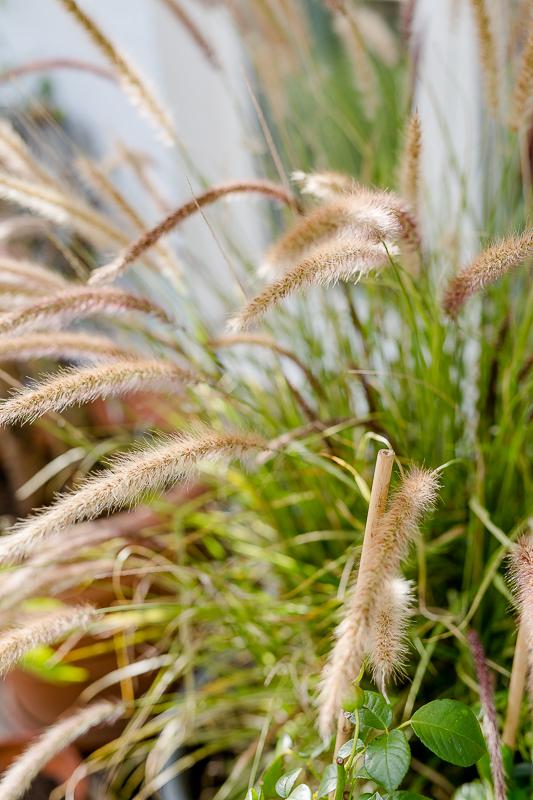 Mein Garten im September, Pomponetti, Gräser
