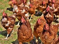 Peluang Usaha Ternak Ayam Petelur yang Menguntungkan