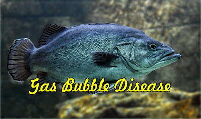 Gas Bubble Disease