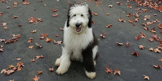 F1b sheepadoodle Weight