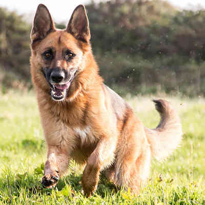 German Sheperd,
