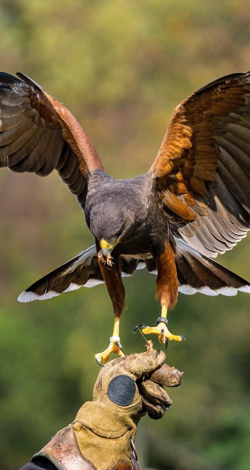 Harris hawk landing.