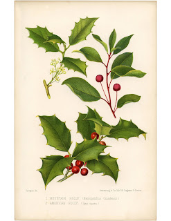 An old colored scientific sketch of Holly. Stiff leaves with several points and bright red berries.