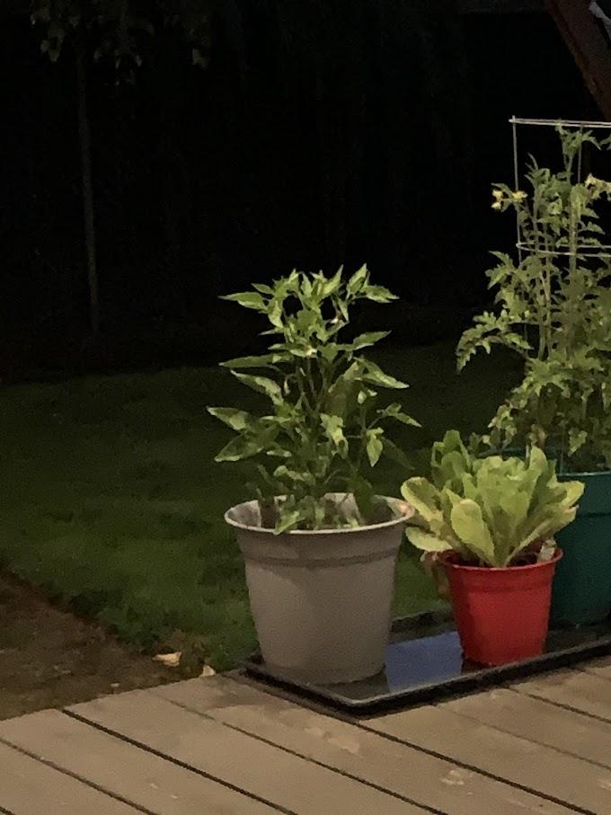 フォースを持ってるジェダイの人には、あの人気キャラクターに見えるかもしれないペッパーの鉢植え‼️😄