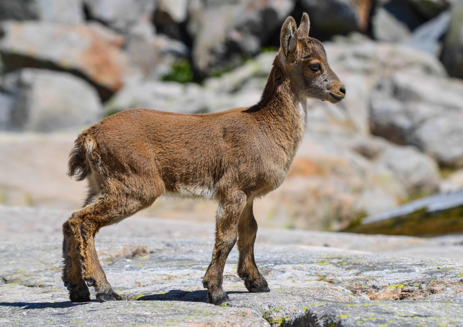 Mammals Animals: Capra pyrenaica victoriae