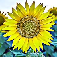 Bills Beard Sunflower