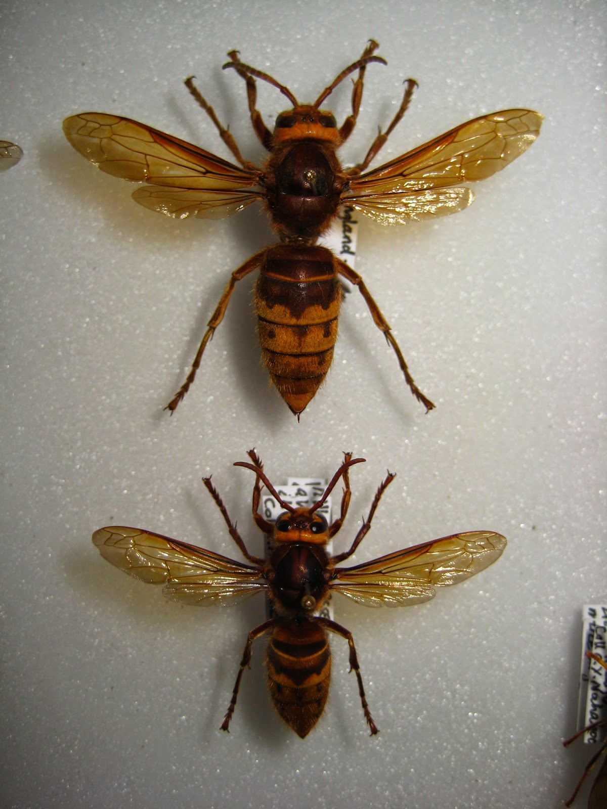 Insects of Britain Hornet