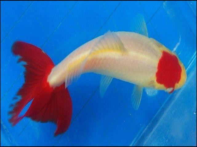 Gambar Ikan Komet