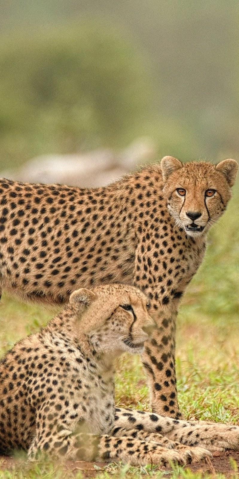 A pair of cheetahs