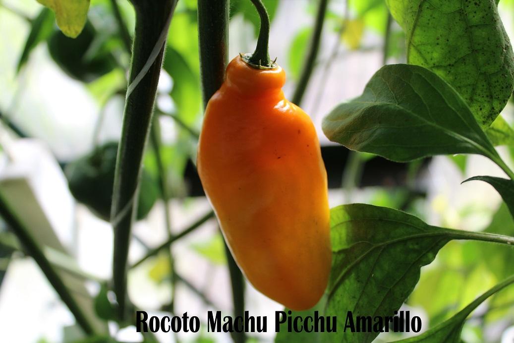 Rocoto+Machu+Picchu+Amarillo+FB.jpg
