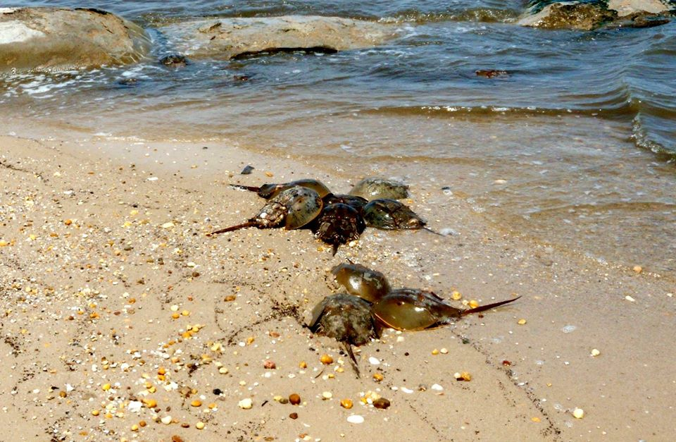 Check Out The Bowers Beach Buccaneer Bash This Weekend Horseshoe Crab Presentation 10am Saay June 3rd