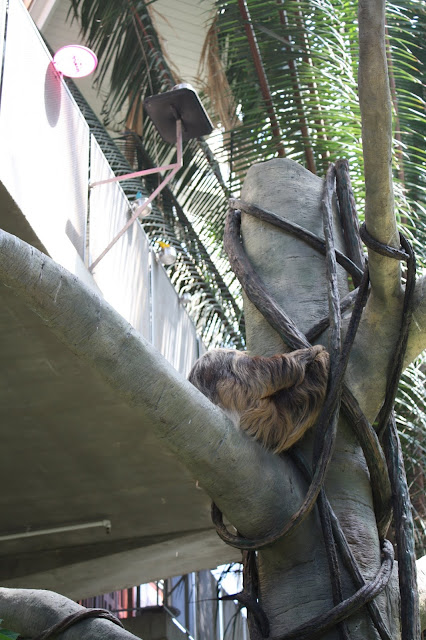 Adorable sleeping sloth high up in a tree at Como Park Zoo