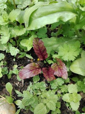 Maggio nell'orto biologico: barbabietola/rapa rossa