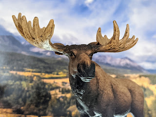 Moose in Crowsnest Pass Alberta