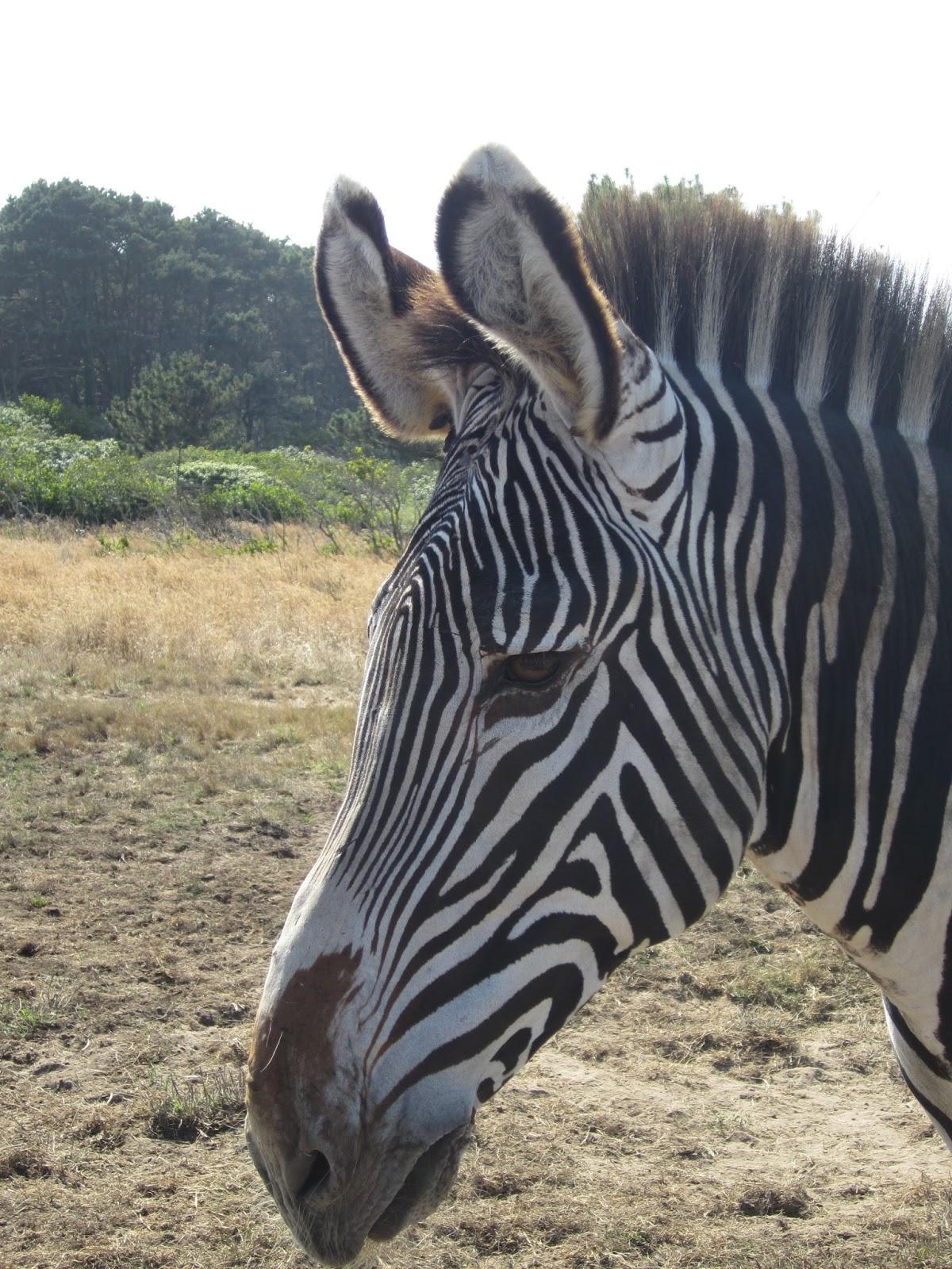 Green Bag Lady Giraffes Zebras In California