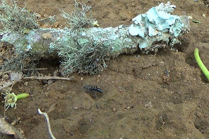 Dlium Godam ant (Odontoponera denticulata)