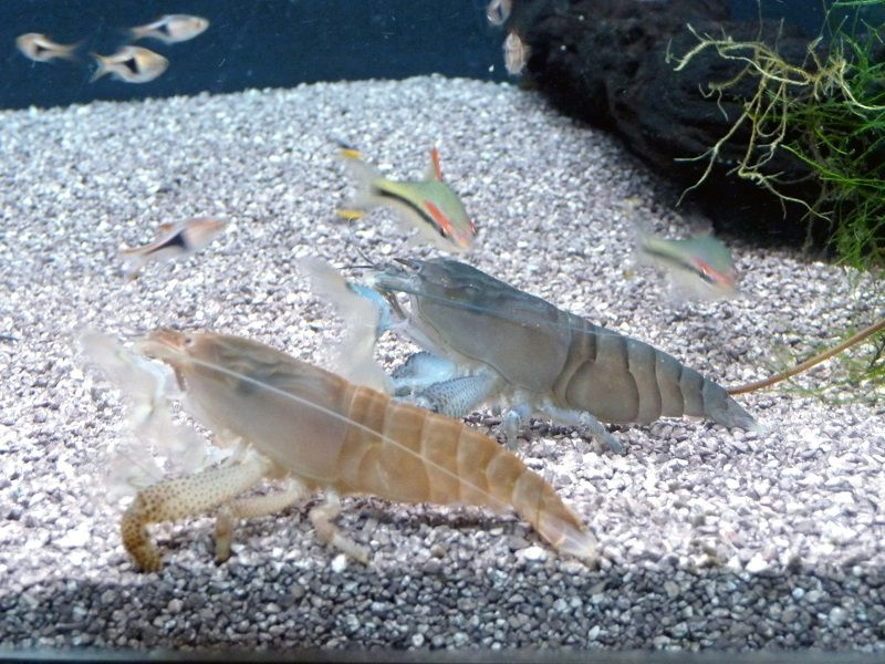 Gambar Teman Untuk Satu Akuarium Dengan Udang Red Cherry Shrimp- udang vampir
