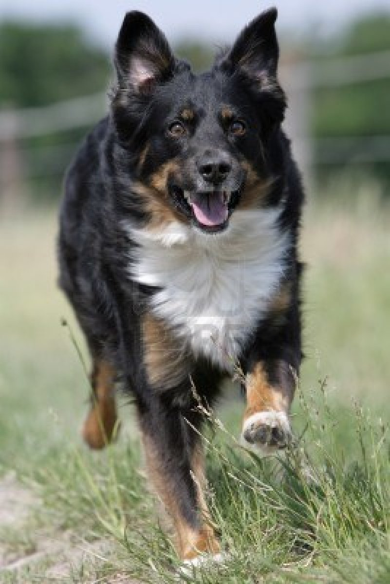 Cute Dogs Australian Shepherd Dog