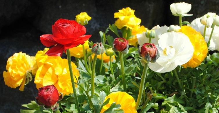 Ranunkel - Frühjahrsblumen