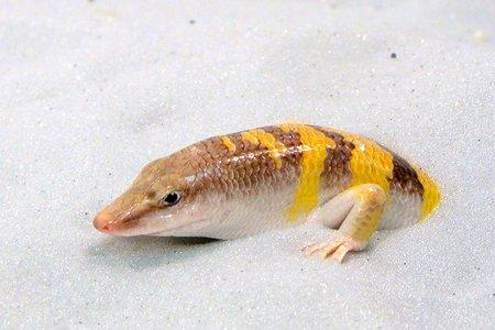 pez de la arena