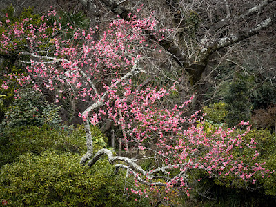 Red ume blossoms: Kawakita-kinenkan, kamakura