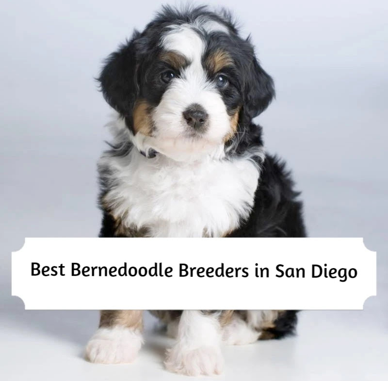 bernedoodle-breeders-in-san-diego