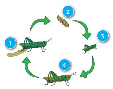 metamorfosis pada belalang www.simplenews.me