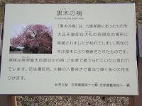Kurokinoume plum tree story - Kyoto Gyoen National Garden, Japan