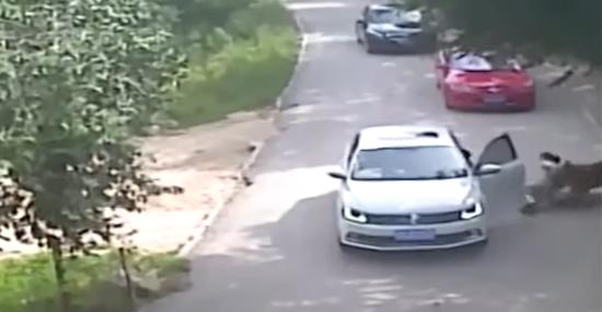 Tigre ataca mulher que desceu do carro em Safári de zoológico - Img 2