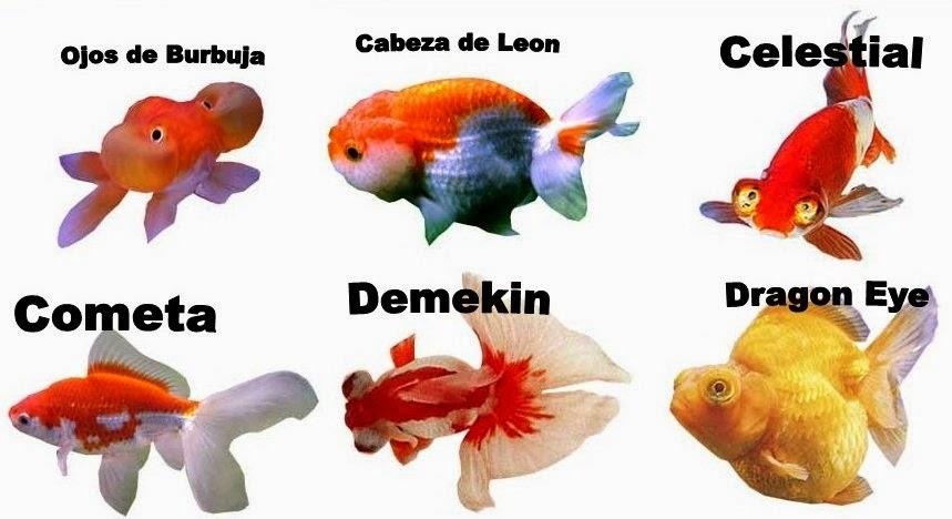Pez telescopio carassius auratus miprimerapecera for Nombre de estanque pequeno para tener peces
