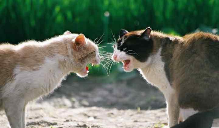 Arti Mimpi Melihat Kucing Berkelahi Menurut Primbon Jawa