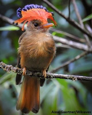 maria leque do susdeste, aves do brasil, wikaves, maria leque, observação de aves, turismo, viajar, ornitologia, natureza, passaros do brasil, birds