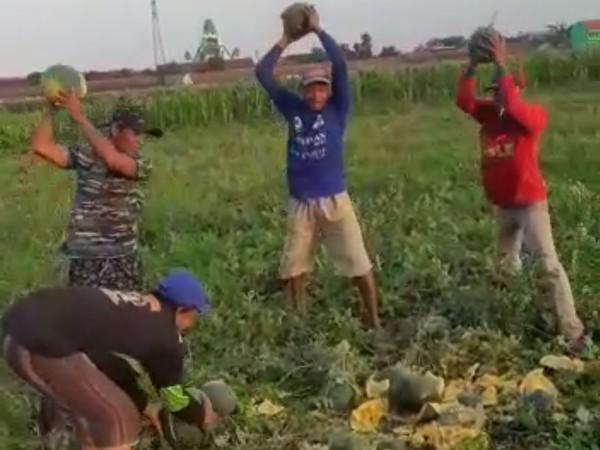Kasihan,Petani Semangka dan Blewah di Jombang Merana Gegara Hujan