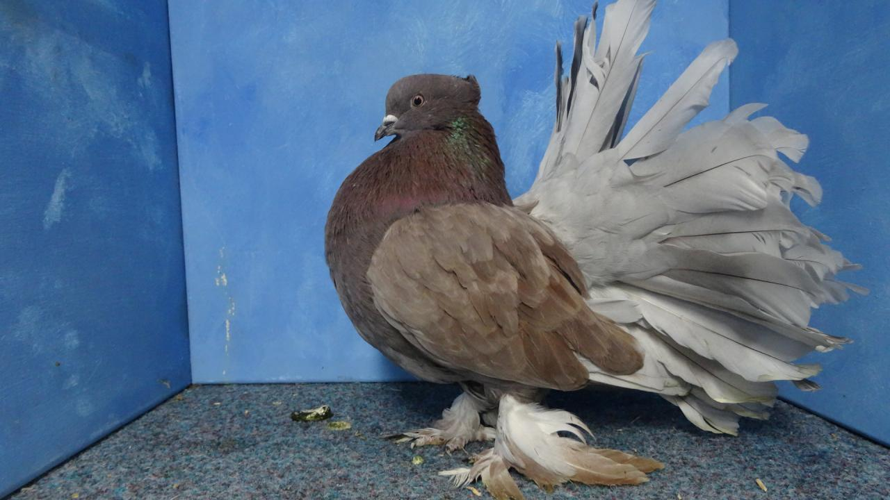 İndian Fantail Pigeons - Pigeons fall